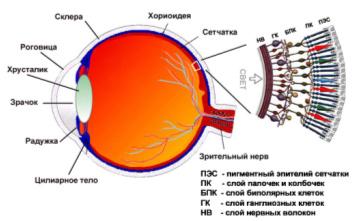 Внутренняя сетчатка глаза
