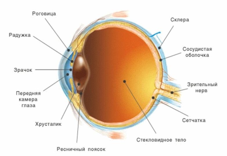 устройство глаза