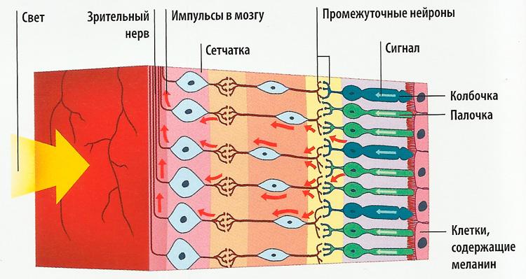 клетка глаза