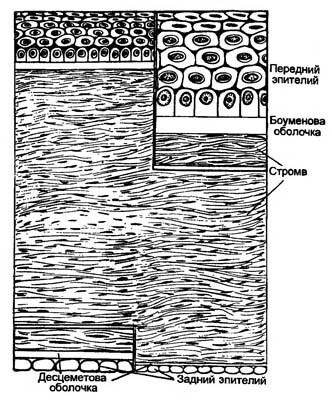 клетка роговицы